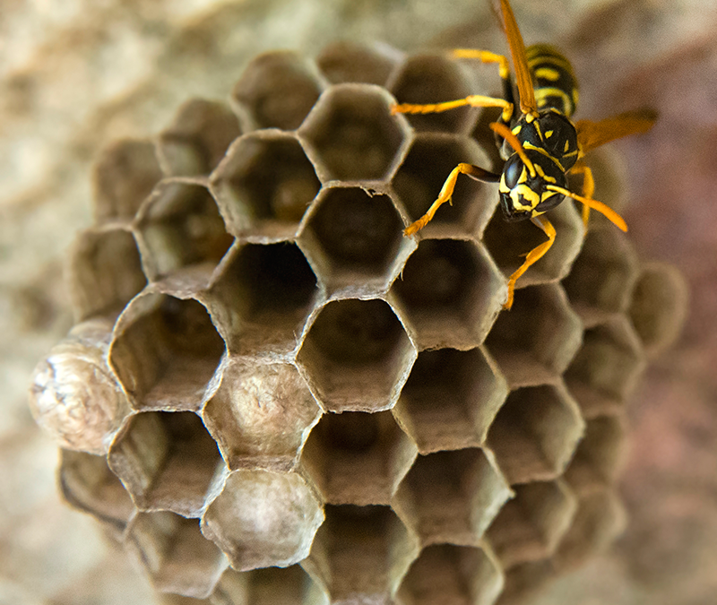FIXED RATE, FIXED FEE TREATMENT FOR ALL WASPS NESTS, PONTPOOL, CWMBRAN, NEWPORT, USK, RAGLAN, AND ALL SURROUNDING AREAS IN GWENT