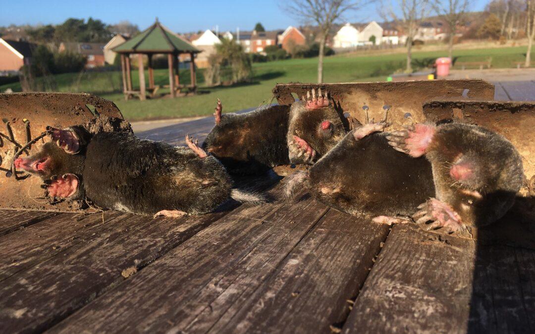 Moles control Abergavenny Monmouthshire